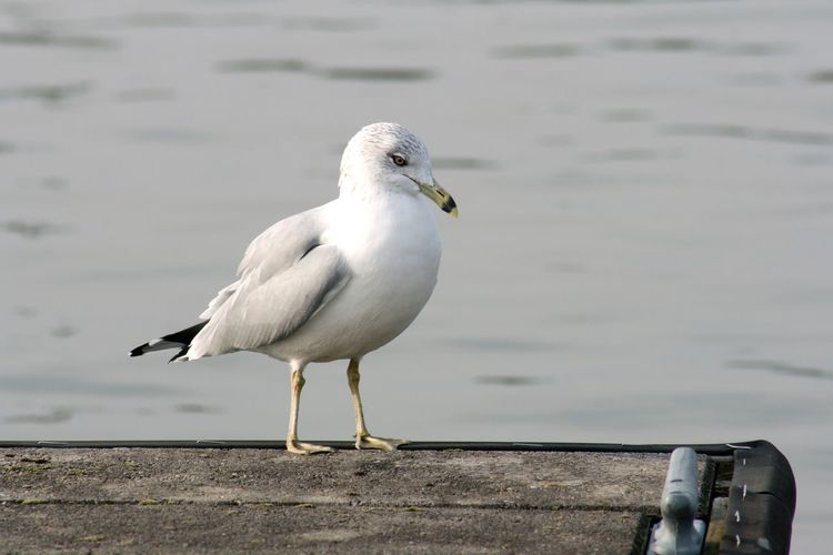Gull sitting on a dock at Monroe Lake, Indiana Animal Bird Animal Themes Animals In The Wild Animal Wildlife Vertebrate Water One Animal Day Focus On Foreground Perching Seagull No People White Color Nature Lake Wood - Material Outdoors Water Bird Gull Gulls