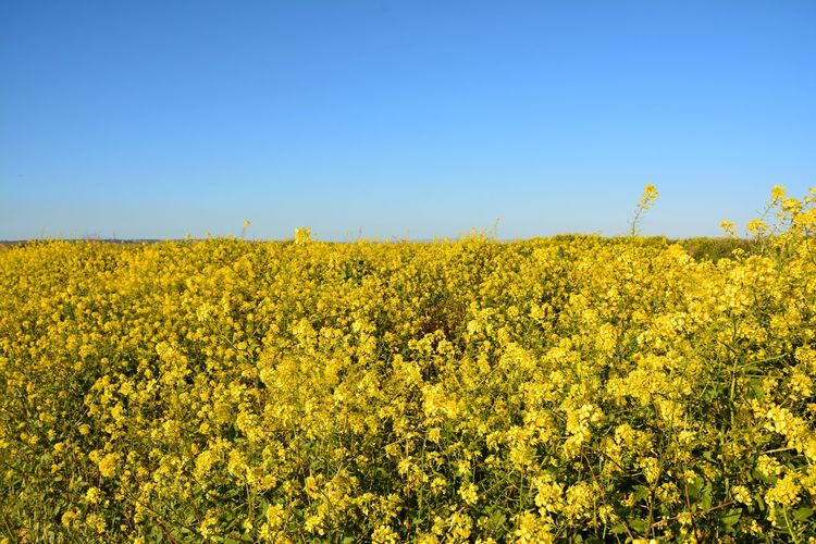 Israel Photography Izrael Vally Paint The Town Yellow Beauty In Nature Blooming Blossom Field Flower Growth Plant Rural Scene Scenics Springtime Vibrant Color Yellow