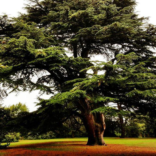 Tree Cedar Cedartree