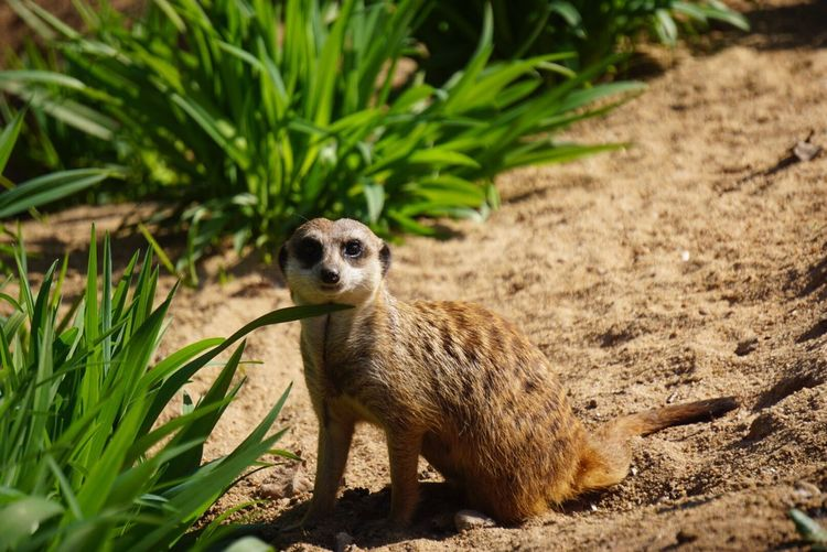 One Animal Animals In The Wild Animal Wildlife Meerkat Day Animal Themes Mammal Outdoors Nature Close-up Beautiful Animal Beautiful Nature Wildlife & Nature Nature Animals Animal Photography Neweyeemhere EyeEmNewHere