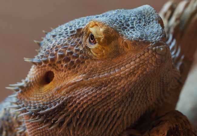 Animal Themes Animals In The Wild Bearded Dragon Close Up Photography Close-up Curiosity Dragons Focus On Foreground Macro Work No People One Animal Reptile Spiky Wildlife Zoology