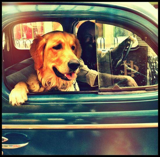 Animal Head  Dog Dog In A Car Dog❤ Fun Times FUNNY ANIMALS Goldenretriever Hello World Pets Riding In A Car