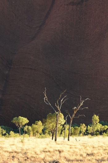 Uluru landscape. Uluru-Kata Tjuta national park. Northern Territory. Australia Uluru Uluru Kata Tjuta Uluru-Kata Tjuta National Park Ayers Rock Ayers Rock National Park Red Centre Northern Territory Northern Territory, Australia Australia Australian Landscape Aussie Dead Tree Landscape Bare Tree Grass Field Arid Climate Arid Landscape Arid Travel Destinations Heritage Scenics - Nature Scenics Monolith Outdoors