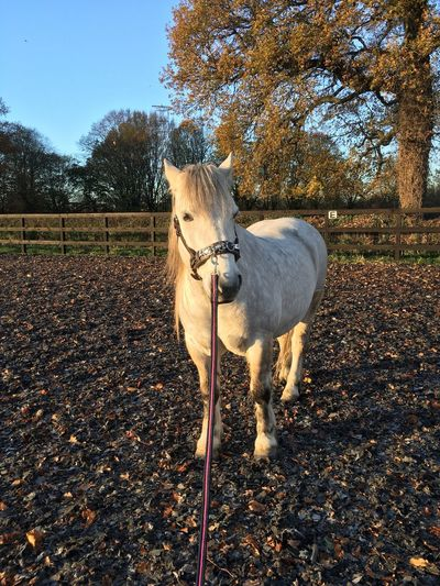 Horse Outdoors Nature Autumn Morning Highland Pony