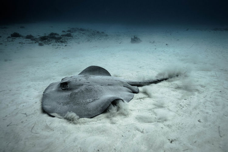 Diving Mexico Diving Animal Themes Animal Wildlife Animals In The Wild Moving In Sand Nature No People One Animal Pastenague Raie Sand Sea Life Stingray UnderSea Underwater