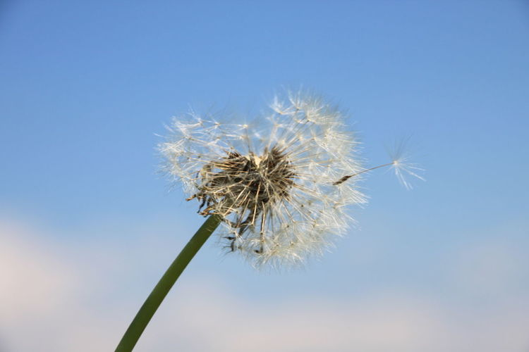 Beauty In Nature Blue Butterblume Clear Sky Close-up Dandelion Fliegen Flower Flower Head Focus On Foreground Fragility Freshness Growth Himmel Hope Low Angle View Nature Pusteblume Pusteblumen Simplicity Single Flower Softness Springtime Stem Uncultivated