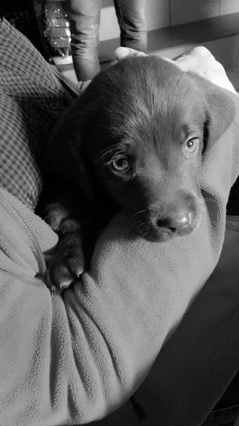 Only a few hours till we take this cute little chocolate baby home....can't wait Balu 9weeksold 7weeksoldinthepicture