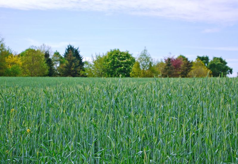 Agriculture Beauty In Nature Cereal Plant Close-up Day Field Freshness Grass Green Color Growth Landscape Nature No People Outdoors Rural Scene Scenics Sky Tranquility Tree Wheat