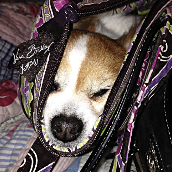Let me go to Mom. No one will ever see me in here. Besides, i'm soooo sleepy and comfortable, you couldn't make me leave your purse, could you? Enjoying Life Medley Farm