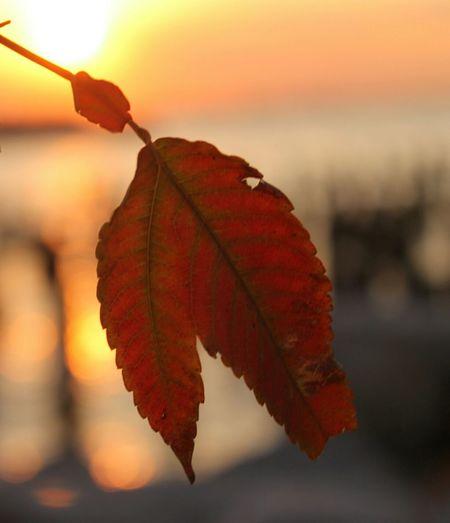 Loner Leaf, Brooklyn Bridge Park - Pier 1, Brooklyn Enjoying The Sunset Autumnal Leaves Brooklyn