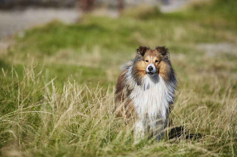 Animal Themes One Animal Animal Grass Mammal Animal Wildlife Plant Animals In The Wild Vertebrate Selective Focus Nature Portrait Dog No People Canine Day Field Domestic Pets Looking At Camera Highlands Scotland Scottish Details Nature Wonderful Colors Orkneys