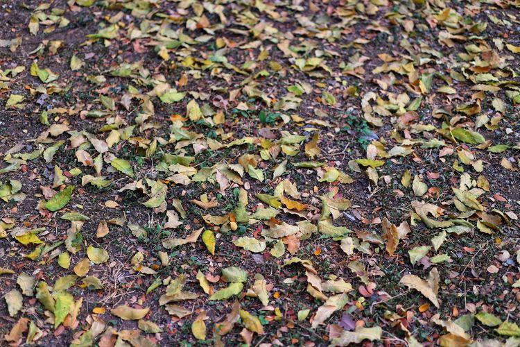 Full frame shot of dry maple leaves on field