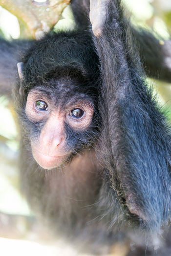 Close-up portrait of spider monkey hanging on tree