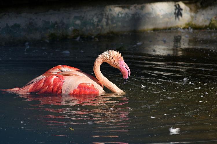 Close-up of flamingo swimming in lake