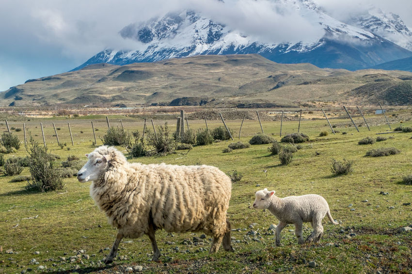 Mother sheep and her lamb walking on a grass with a background of a snowcapped mountain in Torres del Paine, Chile Lamb Animal Themes Beauty In Nature Cloud - Sky Day Domestic Animals Field Grass Landscape Livestock Mountain Mountain Range Nature No People Outdoors Scenics Sheep Sky