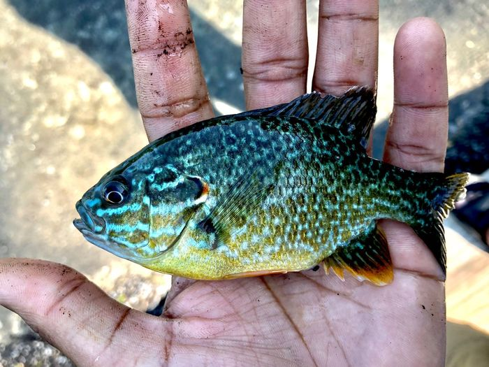 Sun Fish Human Hand Hand Human Body Part Vertebrate One Person Body Part Human Finger Fish Finger Holding One Animal Outdoors Catch Of Fish Day Close-up Animal Wildlife Lifestyles