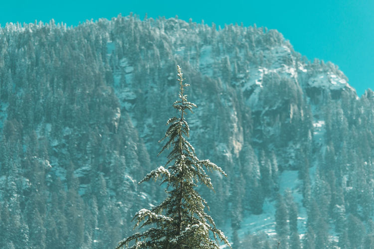 Close-up of a treetop against snow-capped mountains
