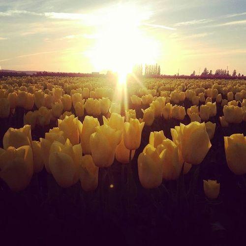 Tulips Tulipfields Yellowtulips Skagitcounty Sunset Fieldofgold Sunlight Flowerobsessed Beautiful Wonderfulevening
