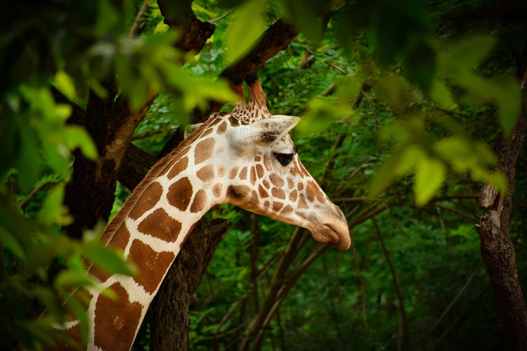 Giraffe in a forest