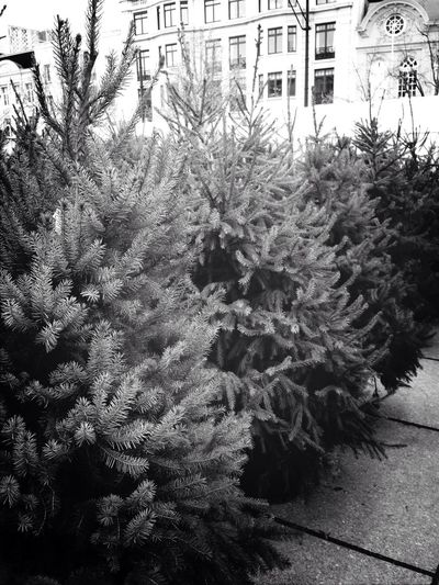 Christmas Treeshopping Lovelovelove