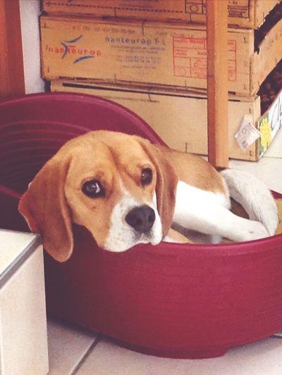 Dog Cute Beagle