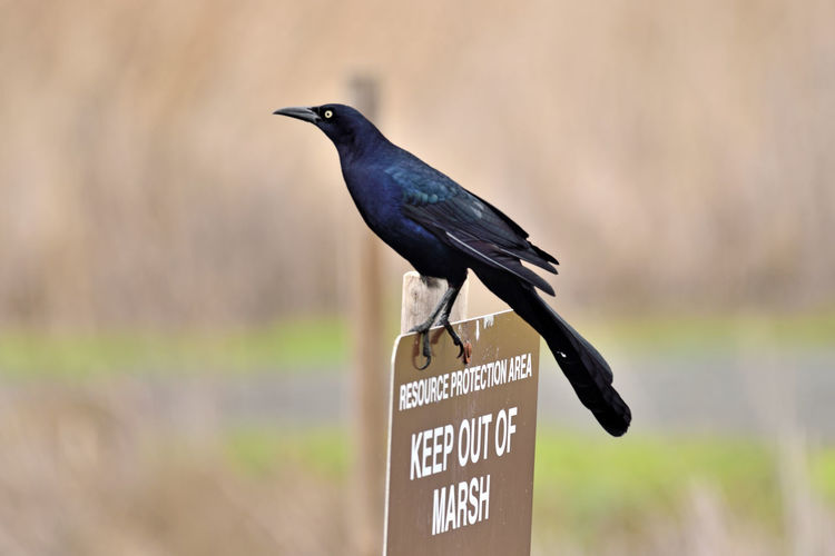 Brewer's Blackbird 4 Coyote Hills Regional Park Marsh Tidal Wetlands Wildlife Refuge Marshlands Brewer's Blackbird Euphagus Cyanocephalus Icteridae Forager Male Perching Info Sign Western Text Birds🐦⛅ Birdwatching Bird Photography Birds_collection Orinthology Close-up Bokeh Landscape Sign Posts Nature Nature_collection Beauty In Nature Focus On Foreground Animal Wildlife Bird Forages In Shallow Water Or Fields Diet: Insects, Seeds, Berries Outdoors