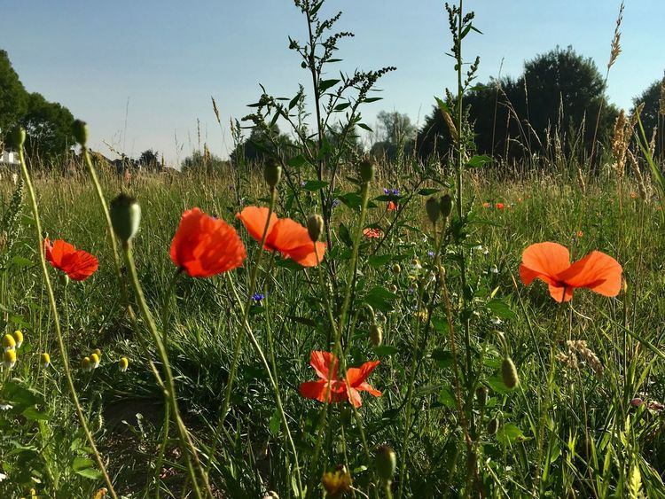 Growth Flower Field Nature Beauty In Nature Plant Outdoors Fragility Poppy Day No People Freshness Grass Blooming Flower Head Sky Close-up Capture The Moment EyeEm Nature Lover EyeEm Flower Low Angle View Sunshine Sommergefühle Green Color Klatschmohn