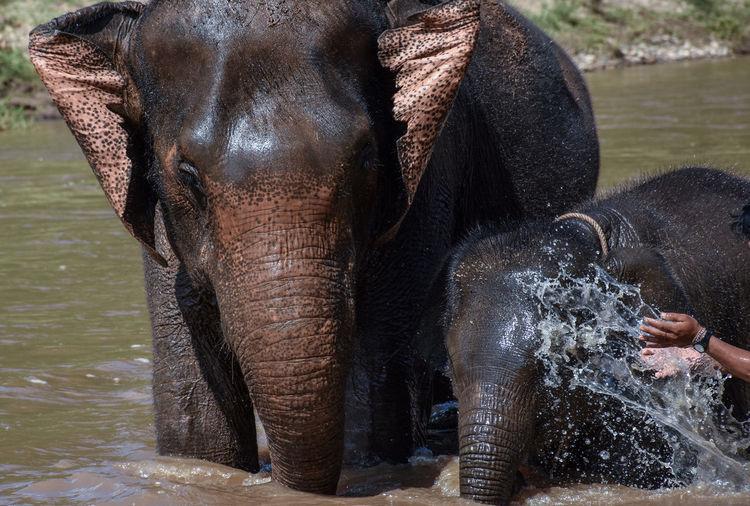 Animal Animal Body Part Animal Themes Animal Trunk Animal Wildlife Animals In The Wild Care Cleaning Day Drinking Elephant Group Of Animals Herbivorous Indian Elephant Mammal Nature Outdoors Splashing Spraying Vertebrate Water