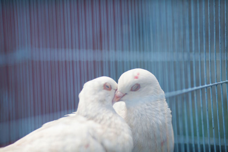 White doves kissing in cage