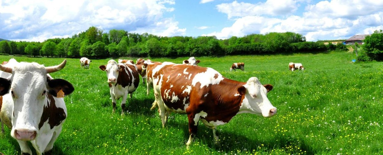 Blue Sky Colors Cow In Pa France Isere  Landscape Panorama Summer Summertime