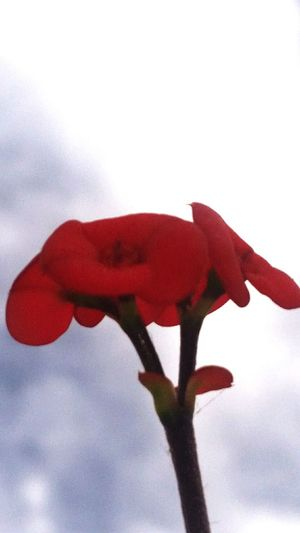 It Is Just A Little Flower Red Flower