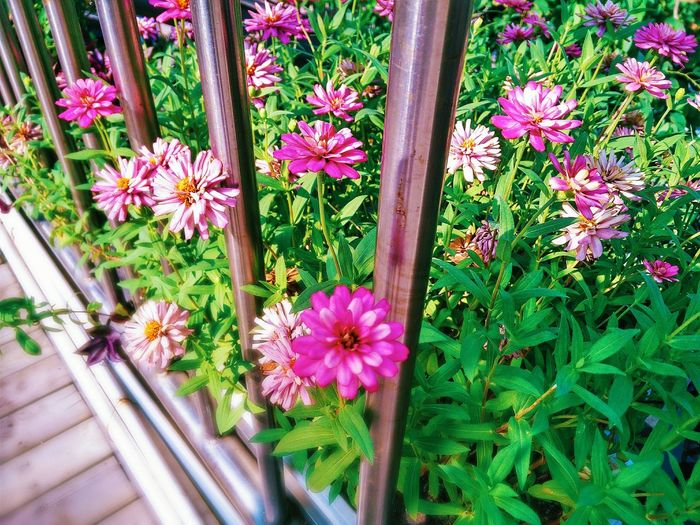 Flower Freshness Growth Beauty In Nature Plant Pink Color Nature In Bloom Pink Hi! Taking Photos EyeEm Gallery Flowers