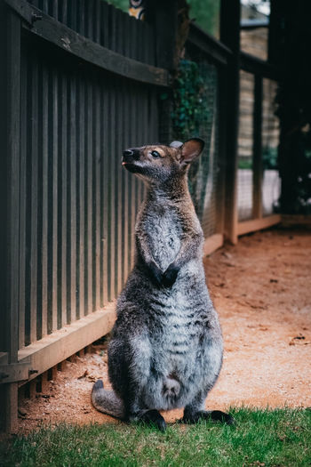 Joey by fence in zoo