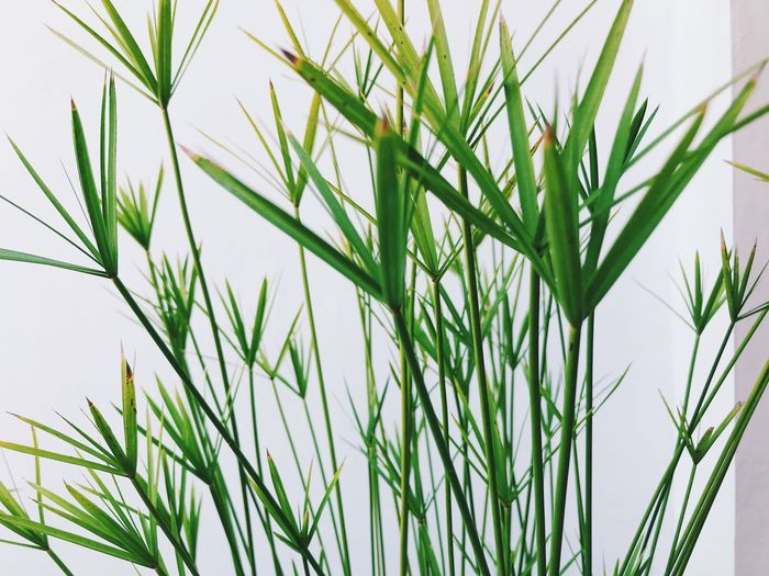 Plant Growth Green Color No People Close-up Nature Day Beauty In Nature Freshness Grass Outdoors Tranquility Focus On Foreground Sky Field Leaf Plant Part Backgrounds Agriculture Crop  Blade Of Grass Stalk