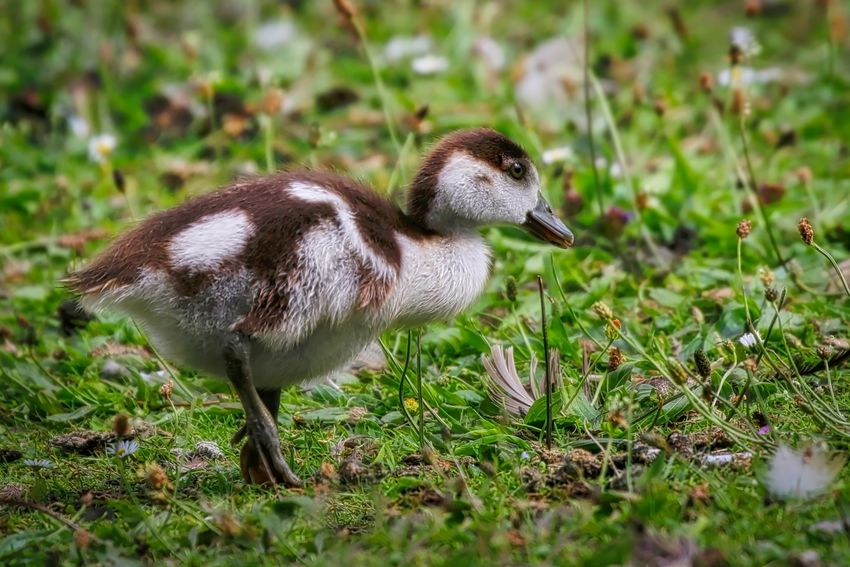 Egyptian Gosling Animal Animal Themes Animal Wildlife Animals In The Wild Bird Day Field Full Length Gosling Grass Land Nature No People One Animal Plant Selective Focus Side View Vertebrate Young Animal Young Bird