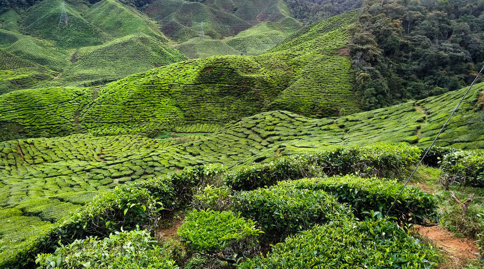 Agriculture Beauty In Nature Crop  Environment Farm Field Foliage Green Color Growth Land Landscape Lush Foliage Nature No People Outdoors Plant Plantation Rolling Landscape Rural Scene Scenics - Nature Tea Crop Tranquil Scene Tranquility Tree