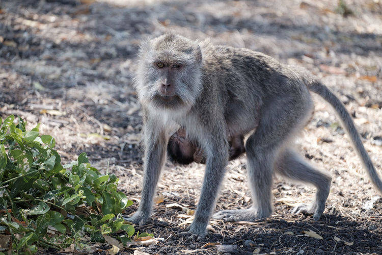 Adult monkey in the baluran national park Animal Wildlife Animals In The Wild Baboon Day Field Focus On Foreground Full Length Land Looking Looking Away Mammal Nature No People One Animal Outdoors Primate Vertebrate