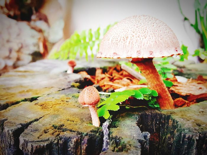 Mushroom Fungus Nature Growth Toadstool Close-up Beauty In Nature Day Outdoors No People Fly Agaric Mushroom Freshness Fragility Fly Agaric Plants 🌱 Fungus 🍄 Fungi🍄 Fungi On A Log