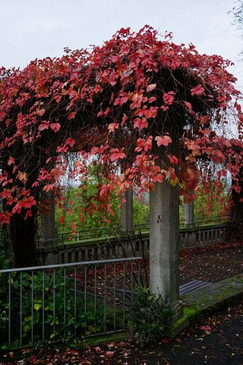 Kassel Weinberg Autumn Beauty In Nature Close-up Day Flower Growth Nature No People Outdoors Pergola Plant Red Sky Tree Weinbergterrassen