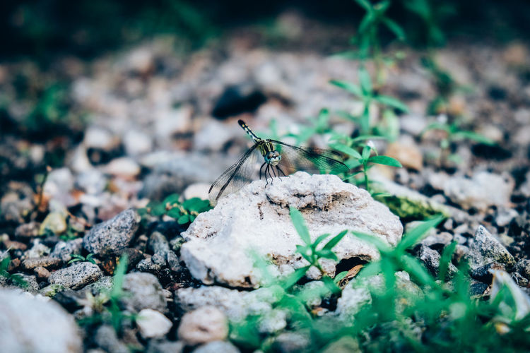 Close-up of damselfly on rock