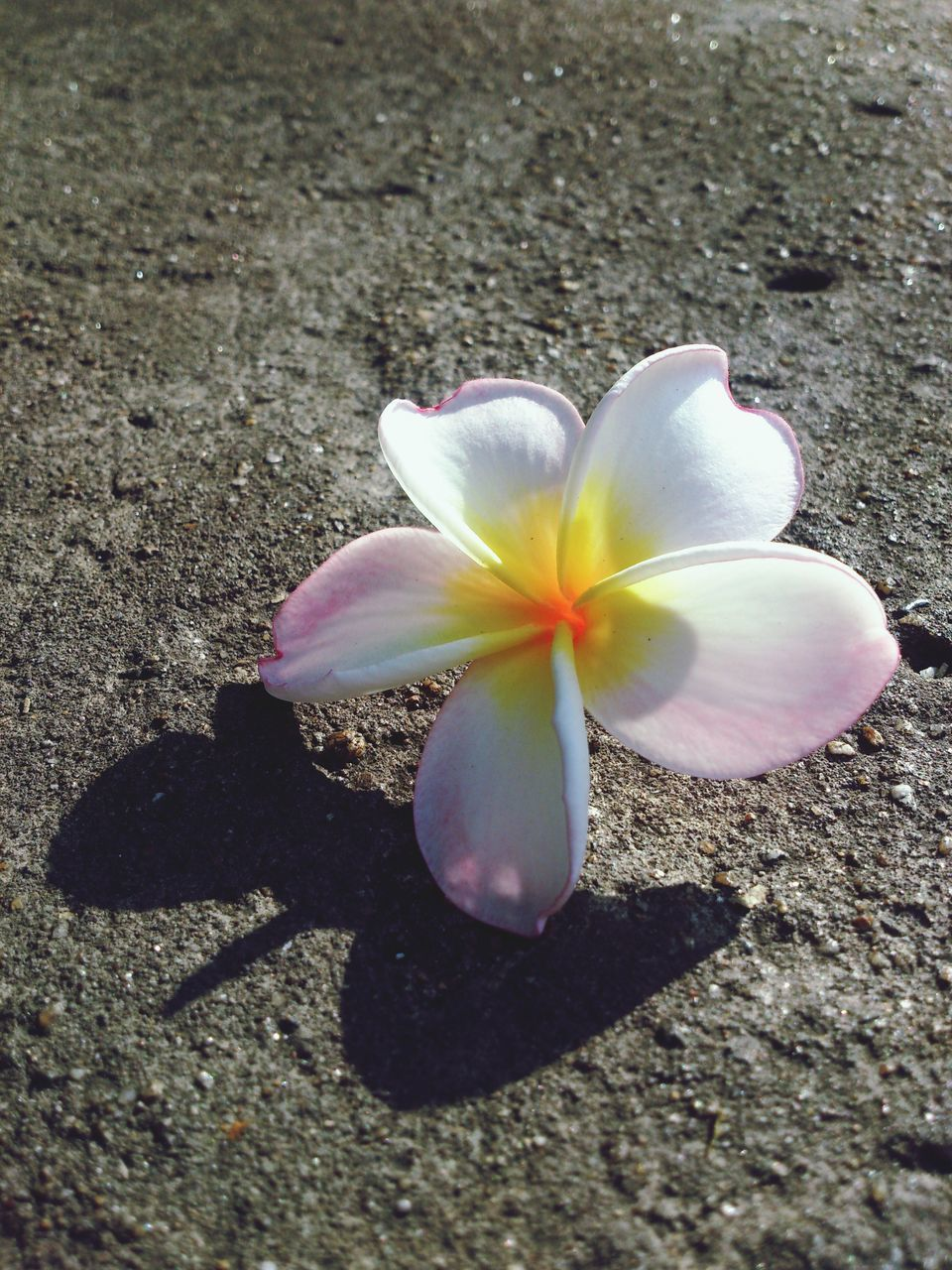 flowering plant, flower, petal, beauty in nature, freshness, inflorescence, flower head, plant, nature, frangipani, close-up, fragility, vulnerability, no people, sunlight, day, outdoors, high angle view, growth