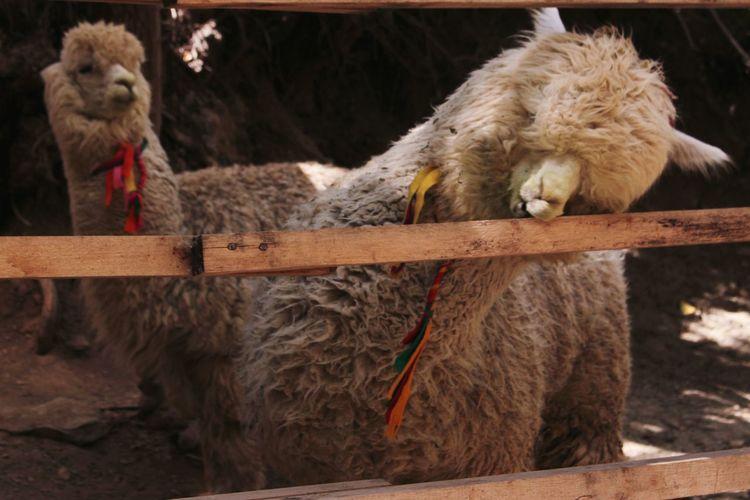 Close-up of alpacas