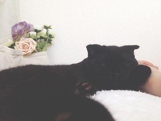 黒猫 仔猫 おはよう Good_morning スコティッシュフォールド …💤 ♡