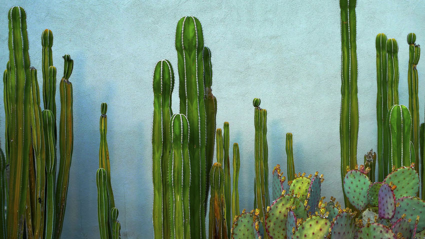 Cacti along wall in Palm Springs, California Cactus Day Garden, Palm Springs, California, Wall Green Color Growth Nature No People Outdoors Plant Succulent Plant