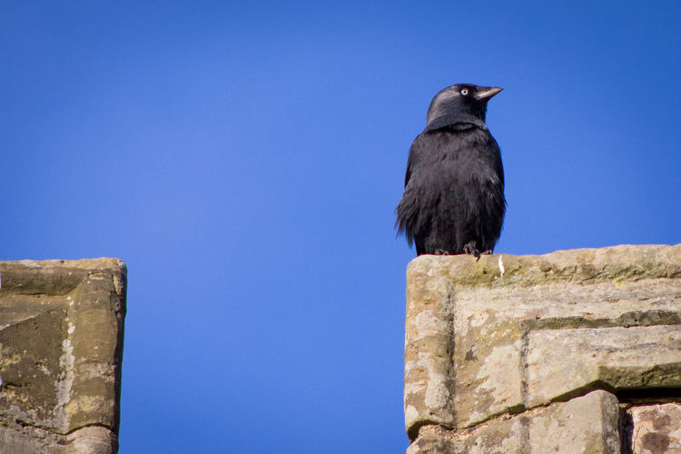 jackdows gaze Bird Jackdows One Animal Outdoors Nature Photograhy Bird Photography Old Buildings Adapted To The City Jackdaw On The Lookout Wall Black Bird Blue Sky
