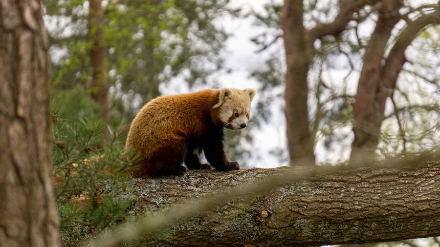 Red panda in atree