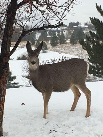 Winter Deer Montana