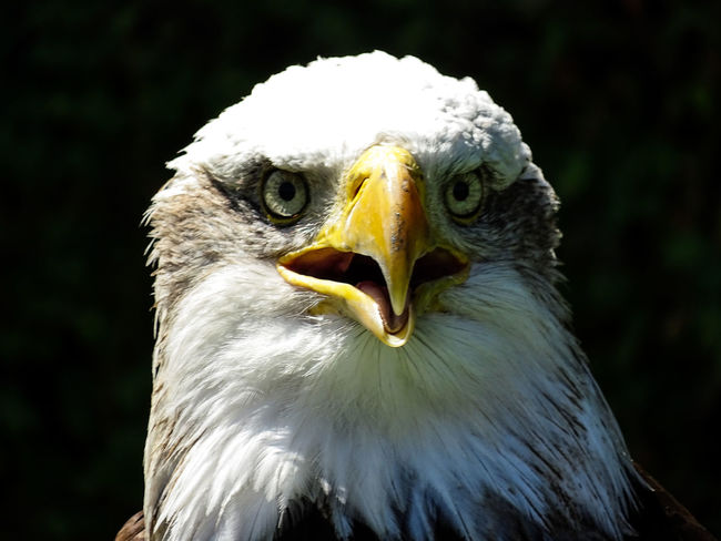 American Eagle Bald Eagle Bald Eagle Portrait Animal Head  Animal Themes Animal Wildlife Animals In The Wild Bald Eagle Bald Eagle Close-up Bald Eagles Beak Bird Bird Of Prey Close-up Day Eagle - Bird Focus On Foreground Looking At Camera Nature No People One Animal Outdoors Portrait