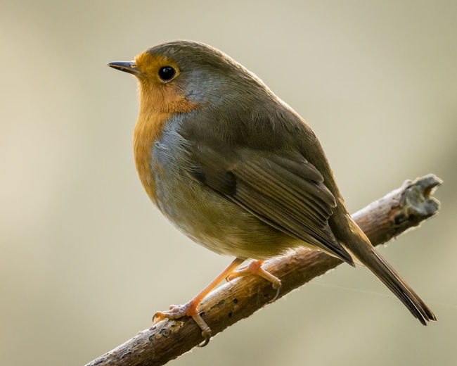 Robin Christmas RSPB Animal Animal Themes Animal Wildlife Animals In The Wild Beauty In Nature Bird Branch Christmas Robin Close-up Day Focus On Foreground Full Length Looking Nature No People One Animal Perching Robin Tree Twig Vertebrate