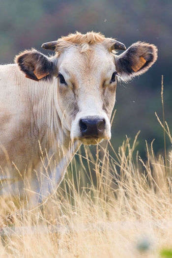 Animal Head  Animal Themes Animals In The Wild Close-up Cow Day Domestic Animals Field Focus On Foreground Grass Livestock Looking At Camera Mammal Nature One Animal Outdoors Portrait Standing Two Animals Wildlife Young Animal